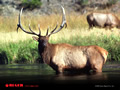 Elk Wallpaper