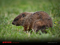 Woodchuck Wallpaper